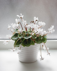 White pot with cyclamen flowers standing on window sill. Close up shot