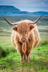 Fototapete - Closeup of brown highland cow in Scotland