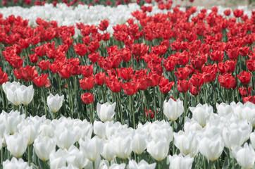 紅白のチューリップ畑