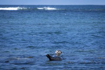 Seehunde auf Inishmore, Aran Islands