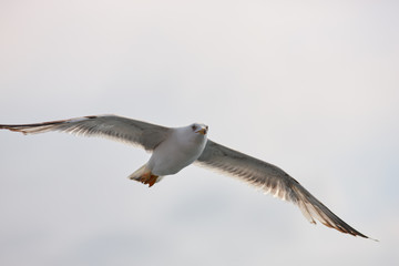 The white seagull soars flying against the background of the blue sky, clouds and mountains. The seagull is flying.