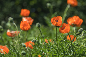 Flower decorative orange poppy on a flower bed in the city