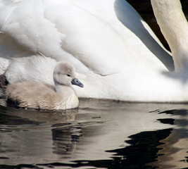 Tiny 3 day old baby swan swimming alongside her mother