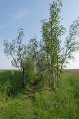 Footpath between birch trees