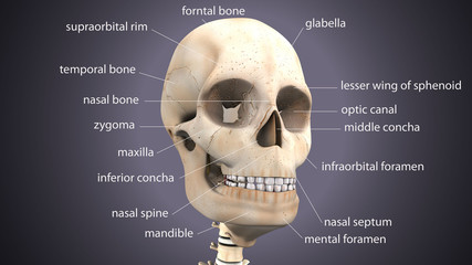 3D illustration of skull anatomy - part of human skeleton medical concept.