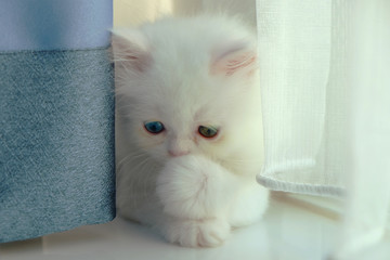 Adorable pure white with odd different blue and green eyes persian cat hiding eyes from camera and posting like laughing with one left hand close the mouth