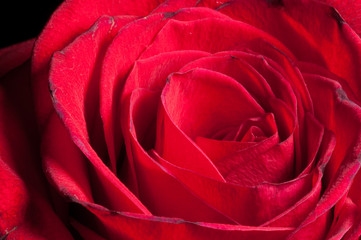 A close up macro shot of a red rose