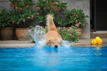 Golden Retriever (Dog) Jumping in Swimming Pool