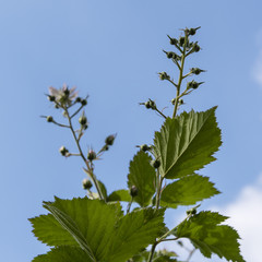 Flower of blackberry from the bottom view with green leaves and blue sky in the background.