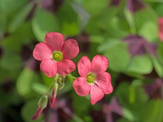 Glücksklee, Oxalis tetraphylla, Blüten