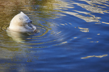Polar bear cub eating on the water. Wildlife animal background