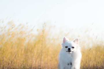 秋の猫じゃらし畑とチワワ 4