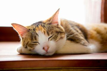 寝てるネコ, calico cat sleeping peacefully