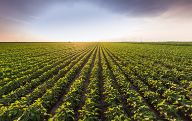 Soybean fields ripening at spring season