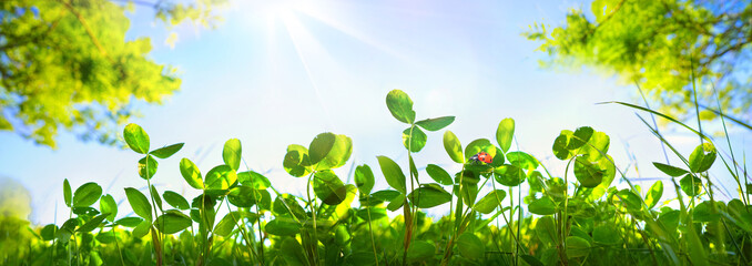 Wall Mural - Fresh green grass clover and ladybug against blue sky in summer morning in rays of sunlight in nature, macro, panoramic view, landscape, copy space.