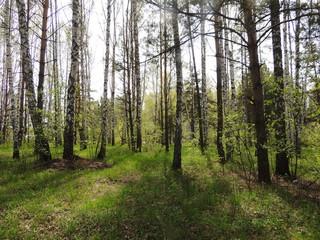 берёзовый лес