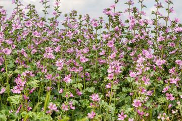 Plantas de malva común con flores. Malva sylvestris.