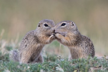 Little european ground squirrel sitting in the grass. (Spermophilus citellus). Two young ground squirrel are kissing. Wildlife scene from nature.