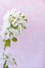 White blooming branch of Apple tree on trendy textured white-pink-lilac background with copy space on the right.