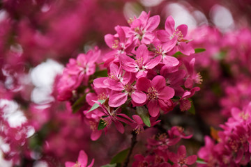 close-up view of beautiful bright pink almond flowers, selective focus