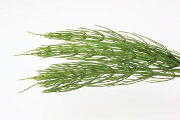 Heilpflanze Acker-Schachtelhalm, Equisetum arvense, Zinnkraut