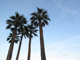 palm trees in Montecarlo