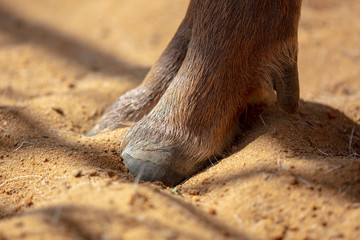 Paws of a cloven-hoofed animal on the ground in the zoo