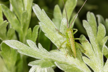 Grasshopper on a green plant in nature