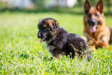 German shepherd with its puppies resting on green lawn