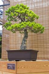 Bonsai tree  - Japanese white pine