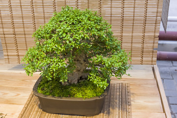 Bonsai tree  - Rhododendron indicum