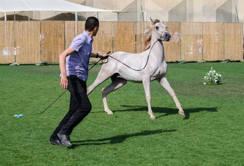 Beautiful arab white gray horse demonstration