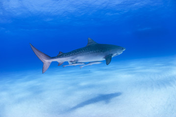 Tiger shark in clear blue water with shadow on the sand