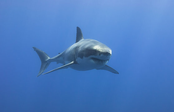 Great White Shark showing sharp teeth rows in blue water