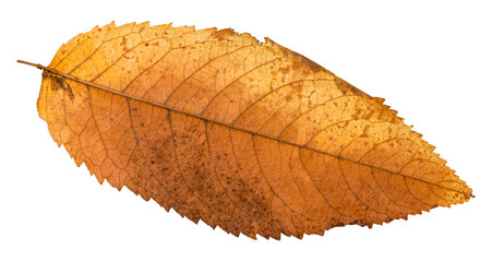 autumn rotten leaf of ash tree isolated