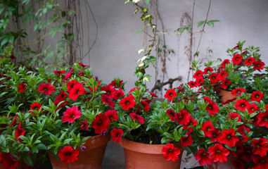 Petunia flower stock images. Red balcony flowers. Romantic garden still life. Summer floral decoration. Red flowers in pot
