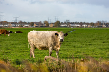 A cow grazing on the Landsmeer grassland near Amsterdam
