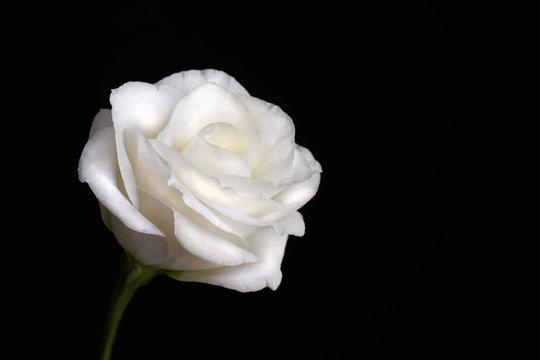 Closeup of white rose on black background