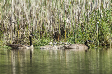 Canadian Geese and goslings in north Idaho.