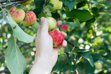 A woman hand picking a red ripe apple from the apple tree. Harvest time
