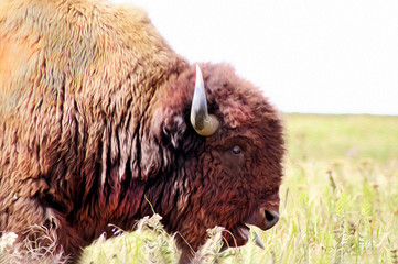 Closeup head of a bull Buffalo sating with tongue sticking out in the Tall Grass Prarie of Oklahoma