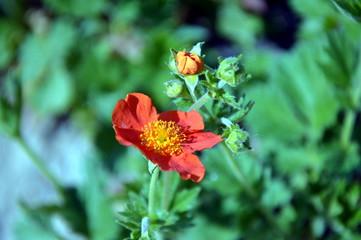 Czerwone Pole Kwiatów