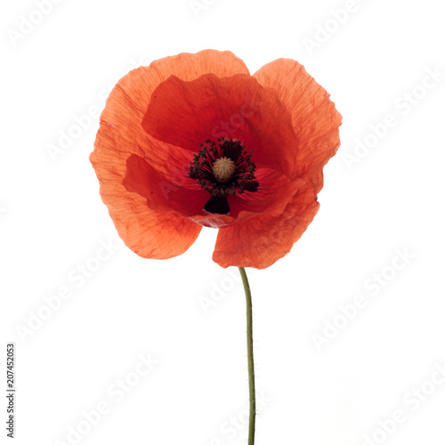 Bright Red Poppy Flower Isolated On White Stock Photo And Royalty