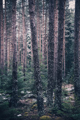 Mixed greenwood forest. Photo depicting dark misty evergreen pine tree backwoods.