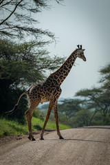 Masai giraffe crosses track lined by trees