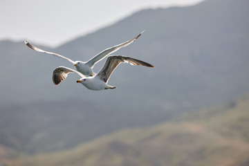 Two beautiful white seagulls fly against the blue sky, clouds and mountains. Two funny gulls fly against the background of the mountains