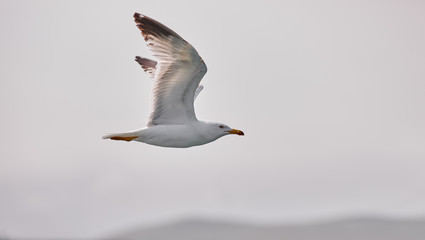 The white seagull soars flying against the background of the blue sky, clouds and mountains. Seagull is flying right