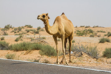 Camel crossing the road in the desert