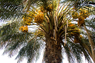 Dense bunches of yellow and dark brown ripen kimri dates with lot of green leaves on dates palm tree