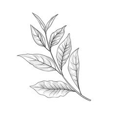 Green tea branch. Tea leaves sketch hand drawn herb plant
